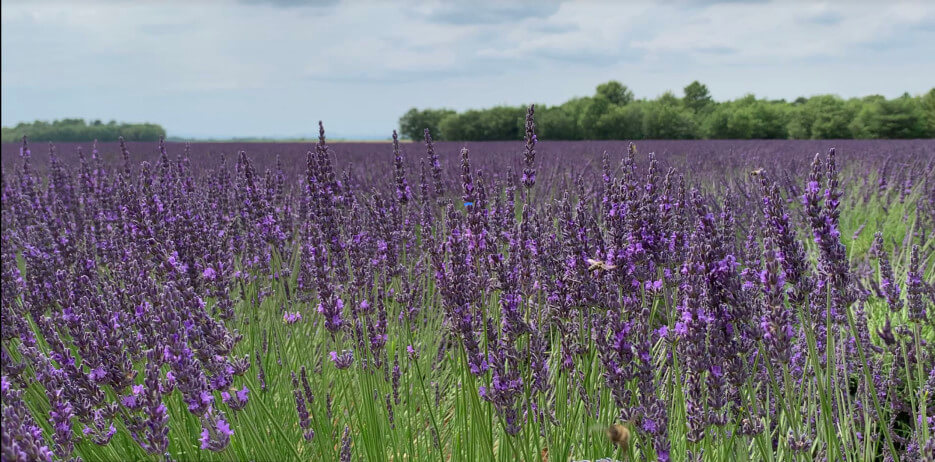 Photo of blooming lavender fields in the south of Franc